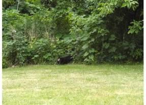 Coco Raccoon hunting