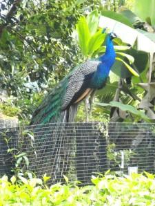Peacock Dad