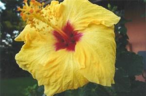 Yellow Hibiscus State Flower