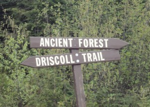 Ancient Forest this-a-way