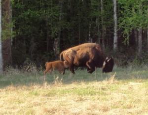 Buffalo and baby
