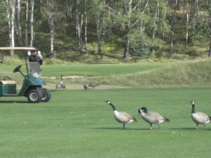 Geese on the Course