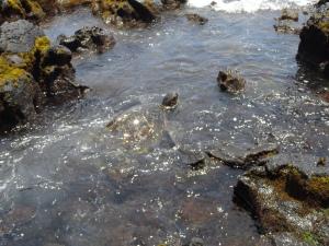 Punalu'u Turtle