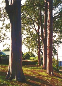 Eucalyptus Trees at Intersection