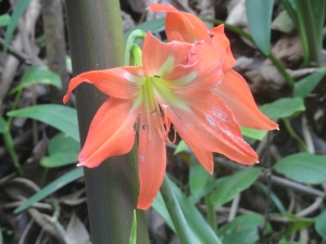Tropical lily?